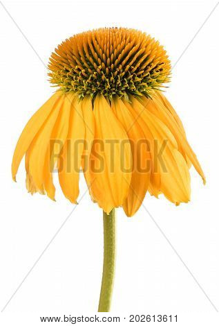 Yellow Coneflower isolated on a  white background