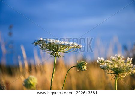 Wild carrot closeup in a low angle image