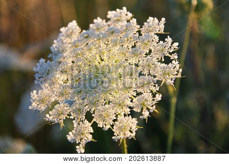 Beautiful pattern at a backlit wild carrot flower head
