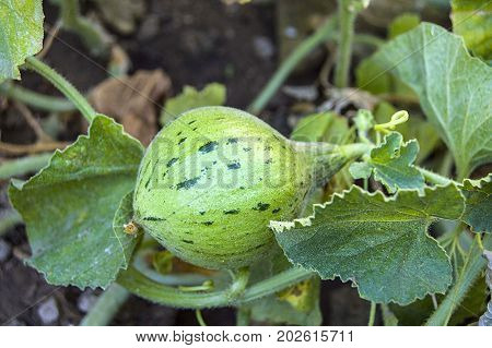 tiny melons in the garden, immature tiny melon pictures,