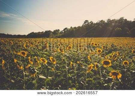 Beautiful shining fields with sunflowers in the summer sun with lens flare in the department of 'Drome' near the city of valence in france