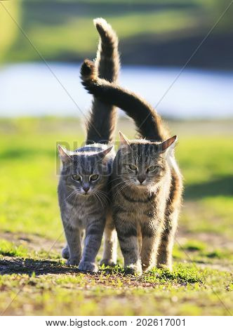 two lovers cat walking on green grass next to a Sunny spring day lifting tails