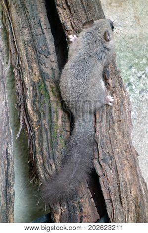 The edible dormouse or fat dormouse Glis glis wild rodent