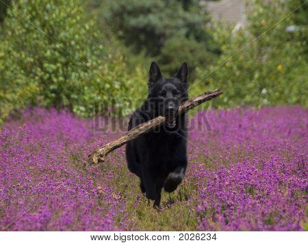Black German Shepherd In Heather