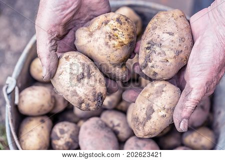 Fresh potatoes in old elderly farmer's hands above the bucket. Toned image