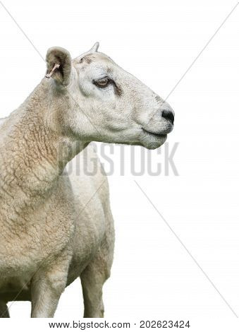 Isolated Sheep Or Ram P{rofile On A White Background
