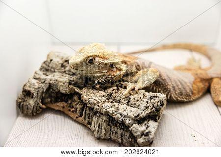 Iguana in captivity in domestic box, Italy