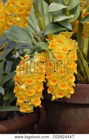 Densely Flowered Dendrobium Orchid - Dendrobium densiflorum