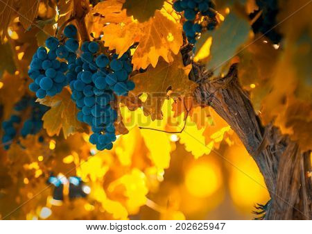 grape bunch very shallow focus perfect fall background