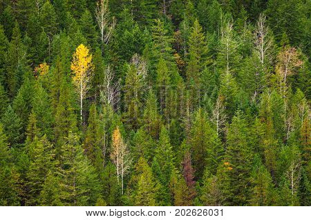 Patterns and textures of a single yellow aspen tree in an evergreen forest
