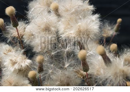Dry thistle seeds close-up with fluff on the outdoors