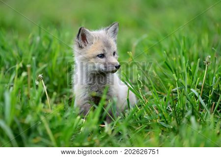 Close up fox cub in green grass