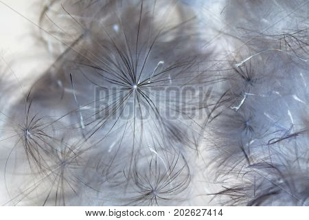 Background of a dry thistledown, thistle, negative