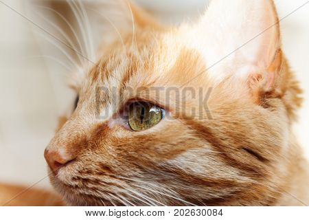 A red cat a large portrait of the head squinted in the sun his eyes were open.