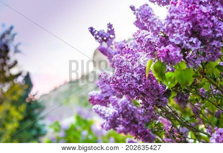 Lilac Rimrocks