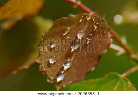 Drops on red aspen leaves after rain