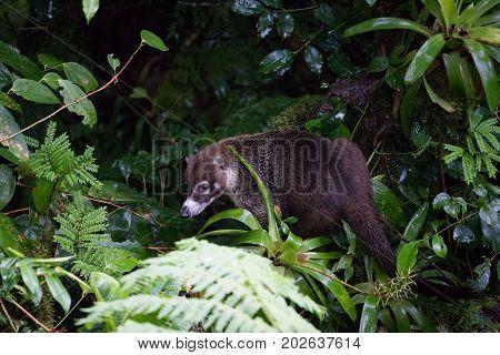 Wild white-nosed coati in lush rainforest Monteverde Costa Rica