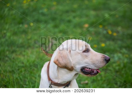 Smiling Labrador Retriever, also labrador, labradorite for a walk looks to the side. Portrait of a Labrador's green grass with dandelions. Dog in collar Dog Year 2018.