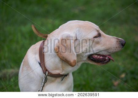 Smiling Labrador Retriever, also labrador, labradorite for a walk looks to the side. Portrait of a Labrador's green grass with dandelions. Dog in collar Dog Year 2018.