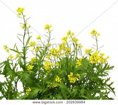 Mustard plant flowering isolated on white background. Wild mustard flowers.