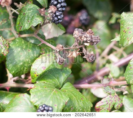 Big Dock Bug On Blackberries Outside Coreus Marginatus