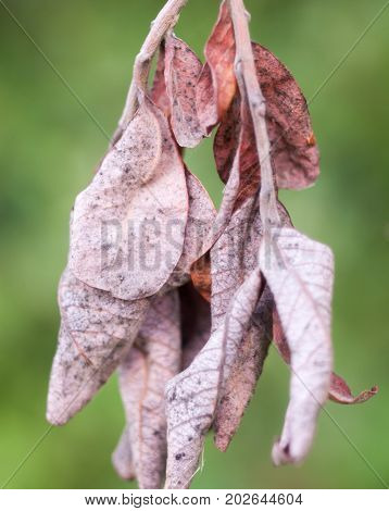 autumn crispy red crinkled leaves hanging dried; Essex; England; UK