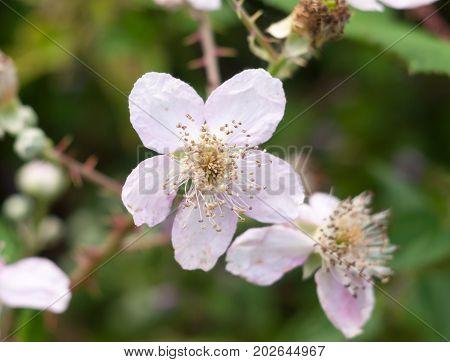 Beautiful White Sharp Petals Of Bramble Plant (rubus Fruticosus)