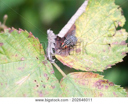 Close Of Red Eyes Ugly Flesh Fly On Leaf Sarcophaga Carnaria