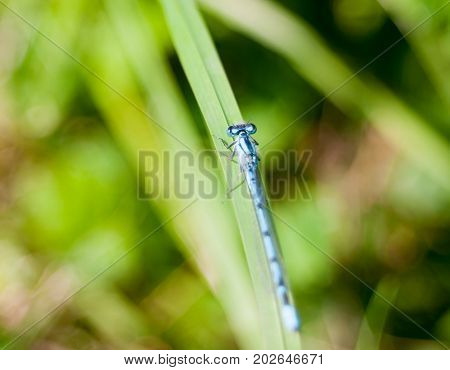 Close Up Small Common Blue Damselfly Bokeh Greenery Enallagma Cyathigerum