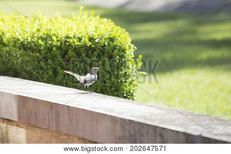 Northern mockingbird (Mimus polyglottos) perched on a cement wall
