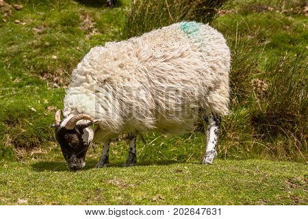 Sheep grazing on the moorland grass on Dartmoor National Park UK