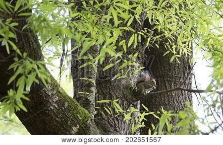 Eastern gray squirrel (Sciurus carolinensis) in a tree