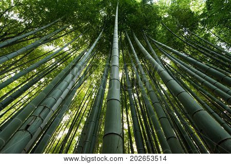 Trees in the Bamboo Forest, Kyoto, Japan