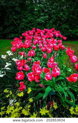 Beautiful tulips flowers in the garen at the spring