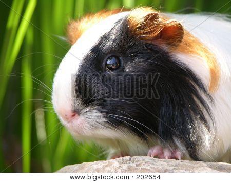 Satin Silkie Guinea Pig
