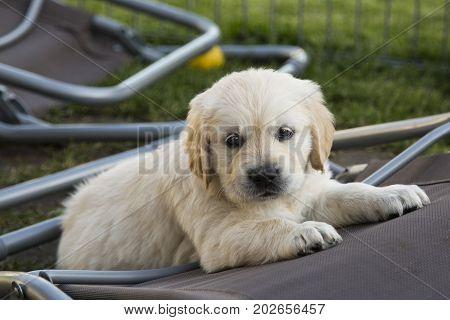 Cute Golden Retriever Puppy 6 weeks old in Summer Outdoor