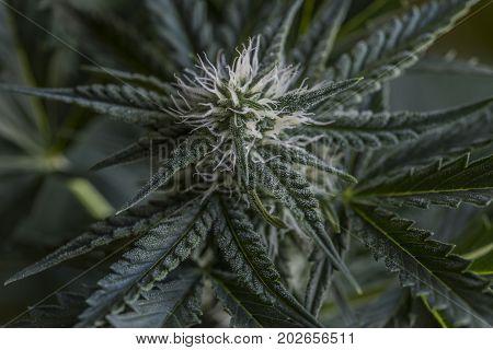 Bubba kush variety of marijuana health flower