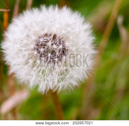 White Flower Dandelion Taraxacum Seed Head Full