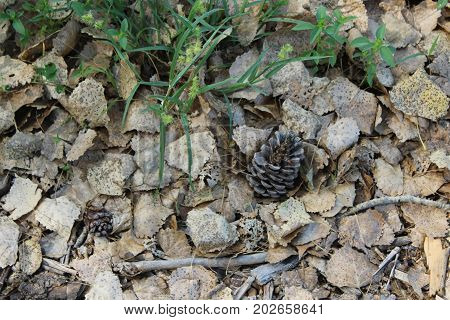 Pine cone on forest floor surrounded by fallen gray and brown speckled leaves, green grass, and twigs on forest floor