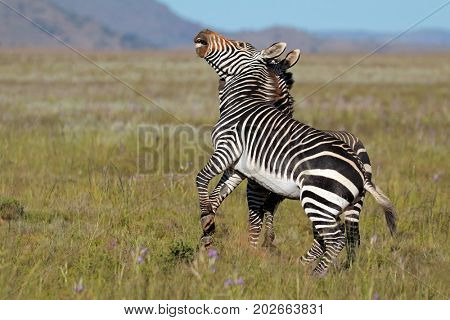 Cape mountain zebra stallions (Equus zebra) fighting, Mountain Zebra National Park, South Africa