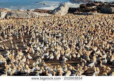 Colony of breeding Cape gannets (Morus capensis), Bird island, Lamberts Bay, South Africa