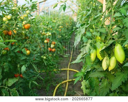 Green elongated tomatoes ripening in wooden greenhouse in summertime