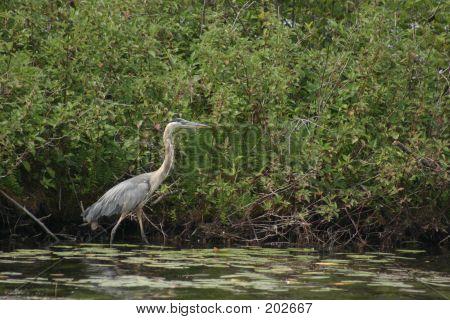 Blue Heron Walking