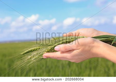 Hands of woman holding wisp of green wheat in the field