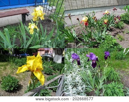 A set of four photos of yellow blue-violet and burgundy irises that grow in the garden. Irises variety of the Blatant Vibrant Prosperous Voyage Fiesta Time and Garden Cherry in different angles