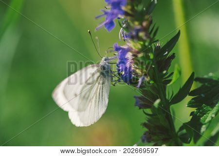 Female european large cabbage and white butterfly feeding on a flower. Photo in the daytime.