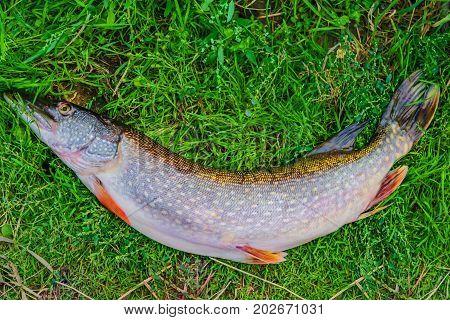Fresh river fish a big pike on a background of green grass, catch fishing, closeup