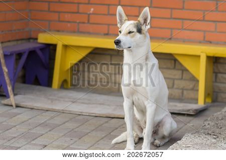 Outdoor portrait of gorgeous white cross-breed dog guarding near threshold of the house it lives