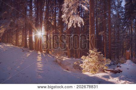 Rays Of Raising Sun Between A Trees