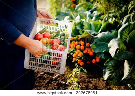 Close-up of a farmer wearing gloves holds a basket of a box with ripe vegetables: green cucumbers, red and yellow tomatoes, peppers, chili peppers. Concept harvesting in autumn, bio-farm. Blick light and sun.